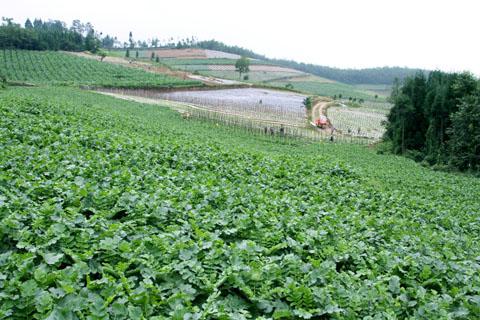 丰都树人镇:万亩榨菜鼓起了村民腰包